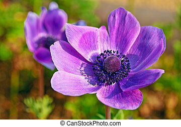 Single anemone flower