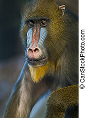 Single Baboon looking directly into the camera