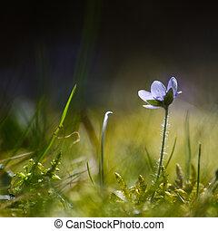 Single backlit Hepatica - Soft image with a single backlit...