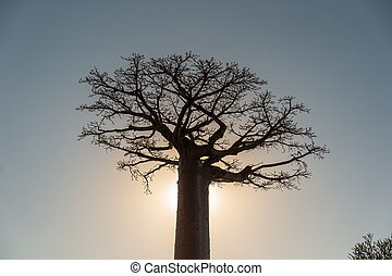 Single Baobab tree against the evening sun