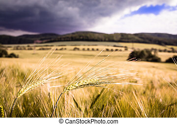 Single barley ear in the middle of the barley field
