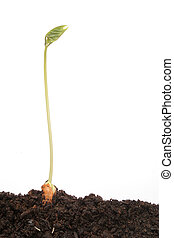 Single bean seedling in soil