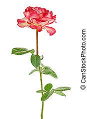Single beautiful rose isolated on a white background