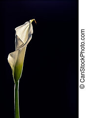 Single beautiful white Calla lily flower isolated on a black background