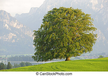 single beech tree isolated on green meadow at summer