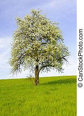 single big apple tree at spring
