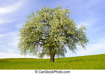 single big apple tree at spring