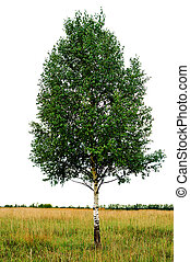 single birch  tree isolated
