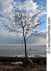 Single birch tree on the frozen sea shore