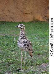 single bird - one grey bird is looking attentively. Biopark...