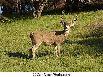 Blacktail buck watching - single Blacktail buck watching ...