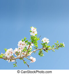 Single blooming branch of apple tree against spring blue sky