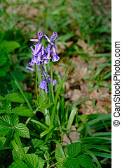 Single bluebell flowering in its natural environment