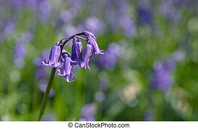 single bluebell on stalk on blurry blubells background
