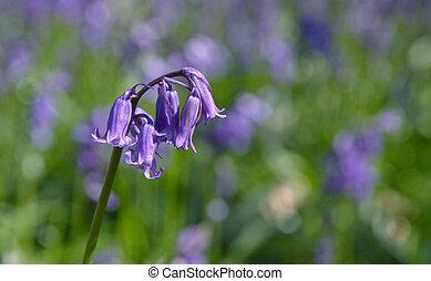 single bluebell on stalk on blurry blubells background
