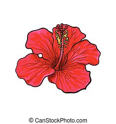 Single bright red hibiscus tropical flower, sketch vector...