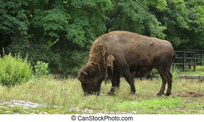 Single buffalo in zoo
