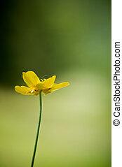 Single butttercup flwoer in Spring against bright green bokeh background