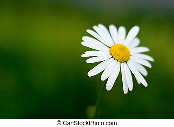 single camomile on green background