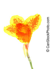 Single Canna Lily orange and yellow flower.