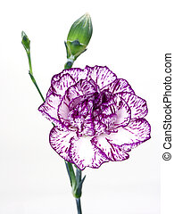 carnation - single carnation,isolated