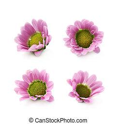 Single chrysanthemum flower bud isolated - Single...