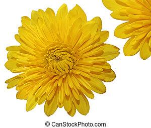 Single chrysanthemum