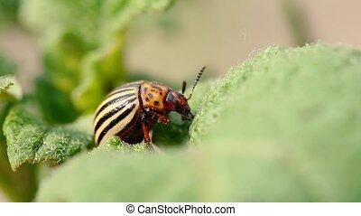 Single Colorado Potato Striped Beetle - Leptinotarsa Decemlineata Is A Serious Pest Of Potatoes Plants.