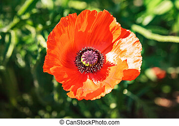 Single colorful red poppy