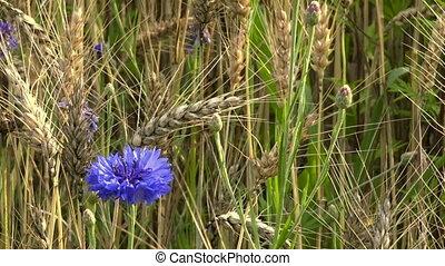 Single cornflower ripe in wheat field, organic food...