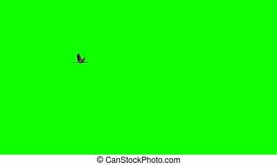 Single crane flying in super slow motion against green