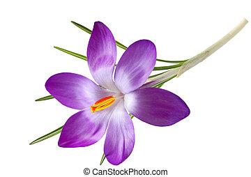 Single Crocus Flower - Purple crocus flower isolated on...
