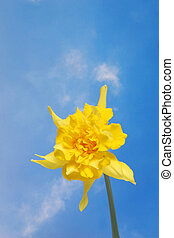 Single daffodil against sky