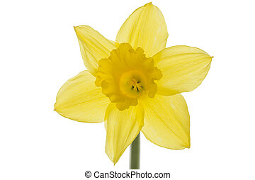 Single daffodil isolated on white background