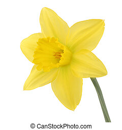 Single daffolil narcissus isolated on a white background with clipping path