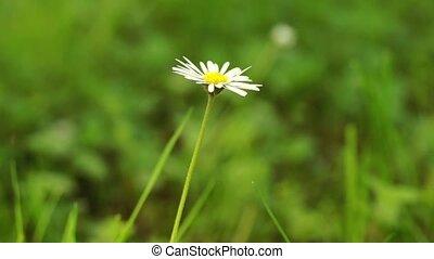Single daisy flower