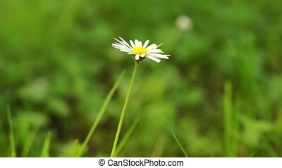 Single daisy flower - Single daisy moves gently in the...