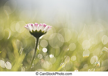 Single daisy in bokeh