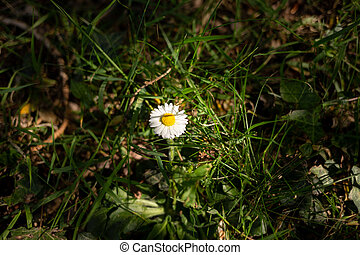 single daisy in the grass in the field