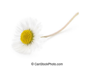single daisy on a white background