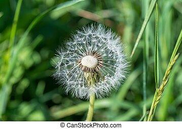 Single dandelion in a meadow