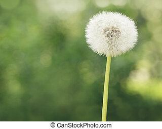 single dandelion on the meadow