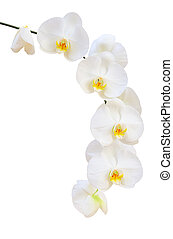 Single delicate branch of white natural orchids flowers