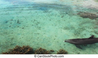 Single dolphin swimming over reef - Single dolphin swimming...