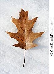 Single dry oak leaf in snow