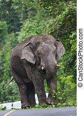 Single elephant walking in a road