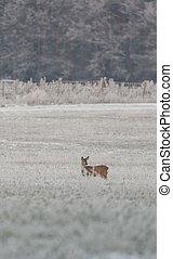 Single female roebuck on frozen meadow - Vertical photo of...