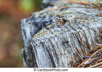 Single fire ant on the stump