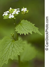 Alliaria petiolata - single flower (Alliaria petiolata) as...