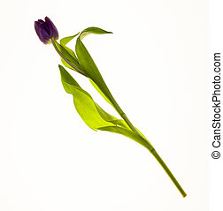 Single Flower Dutch Tulip closeup on white background. Card with flowers for wedding invitations anniversary.